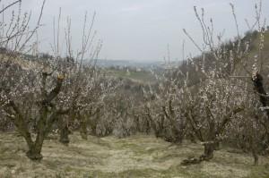 boomgaard bloei 300x199 Lente in Le Marche