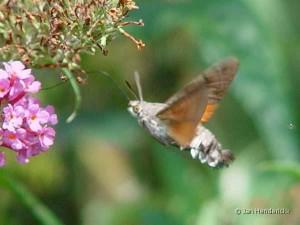 014 Kolibrievlinder Macroglossum stellatarum 300x225 Planten en dieren