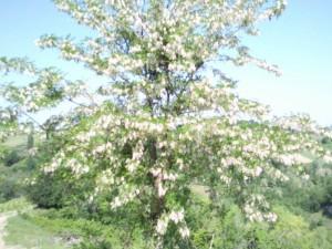 acacia in bloei@casolareresole 01 300x225 Planten en dieren