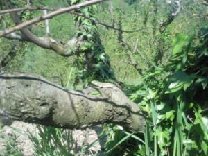 hagedis in boomgaard 300x225 Lente in Le Marche (II)
