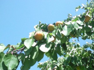abrikozen 300x225 Druk met fruit