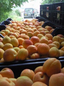 abrikozen02 225x300 Druk met fruit
