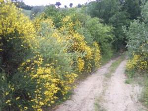 brem 01 300x225 Bloemen en planten