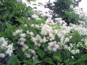 clematis01 300x225 Bloemen en planten