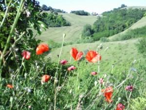 klaprozen 300x225 Bloemen en planten