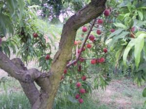 perziken 05 300x225 Druk met fruit