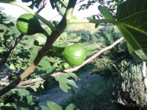 vijgen 01 300x225 Druk met fruit