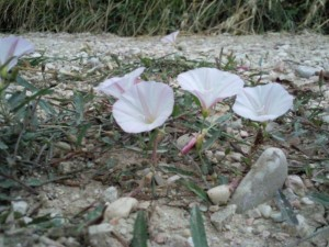 winde01 300x225 Bloemen en planten