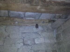 vleermuis onder het huis 300x225 Beestjes