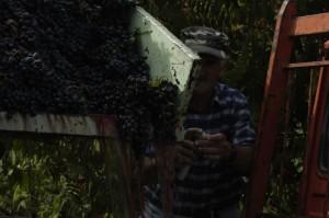 Ottavio met het suikergehalte van de geplukte druiven 300x199 Wijnoogst 2010