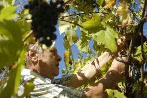 druivenplukker 03 300x199 Wijnoogst 2010