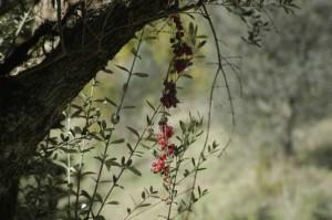 de bessen van een klimplant geven een mooi plaatje 300x199 Herfstimpressies(2)