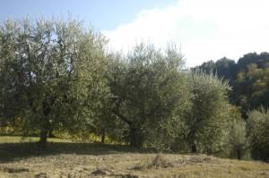 onze olijfbomen in de herfstzon 300x199 De olijvenoogst