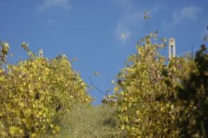 onze wijngaard aan het verkleuren 300x199 Herfstimpressies (1)