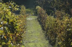 onze wijngaard in de herfstzon 01 300x199 Herfstimpressies(2)