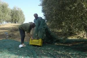 ottavio en pasqualina vullen kratjes met olijven 300x199 De olijvenoogst