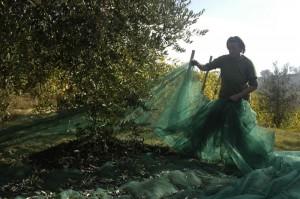 pasqualina legt de netten goed 02 300x199 De olijvenoogst