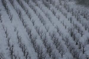 onze boomgaarden in de sneeuw 01 300x199 Winter in Le Marche I