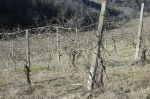 zo zagen de druiven er ongeveer uit 300x199 Ongelooflijk