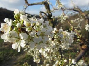 in bloei 02 300x225 De boomgaarden gaan weg