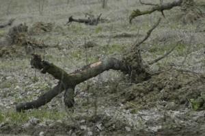 weghalen boomgaard 05 300x199 De boomgaarden gaan weg