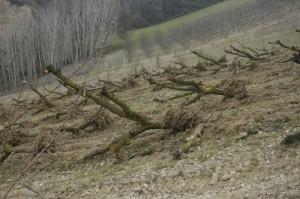 weghalen boomgaard 06 300x199 De boomgaarden gaan weg