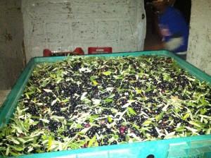 olijven 300x224 De olijvenoogst