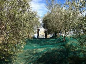 oogsten 01 300x224 De olijvenoogst