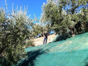 oogsten 03 300x224 De olijvenoogst