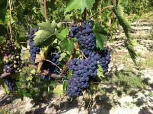 rijpe druiven 300x224 Vendemmia of Druivenoogst