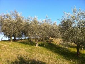 De olijfboomgaard 300x224 Een nieuw seizoen breekt aan